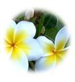 น้ำมันนวดอโรมาสปาออย กลิ่นดอกลีลาวดี Aromatherapy Spa Massage Oil