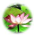 น้ำมันนวดอโรมาสปาออย กลิ่นดอกบัว Aromatherapy Spa Massage Oil Lotus