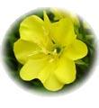 น้ำมันนวดอโรมาสปาออย กลิ่นดอกลีลาวดี Aromatherapy Spa Massage Oil Plumeria