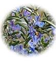 น้ำมันนวดอโรมาสปาออย กลิ่นโรสแมรี่ Aromatherapy Spa Massage Oil Rosemary